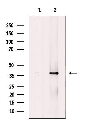 MKP-1 Antibody in Western Blot (WB)