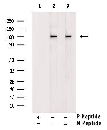 Phospho-HCN1 (Ser846) Antibody in Western Blot (WB)