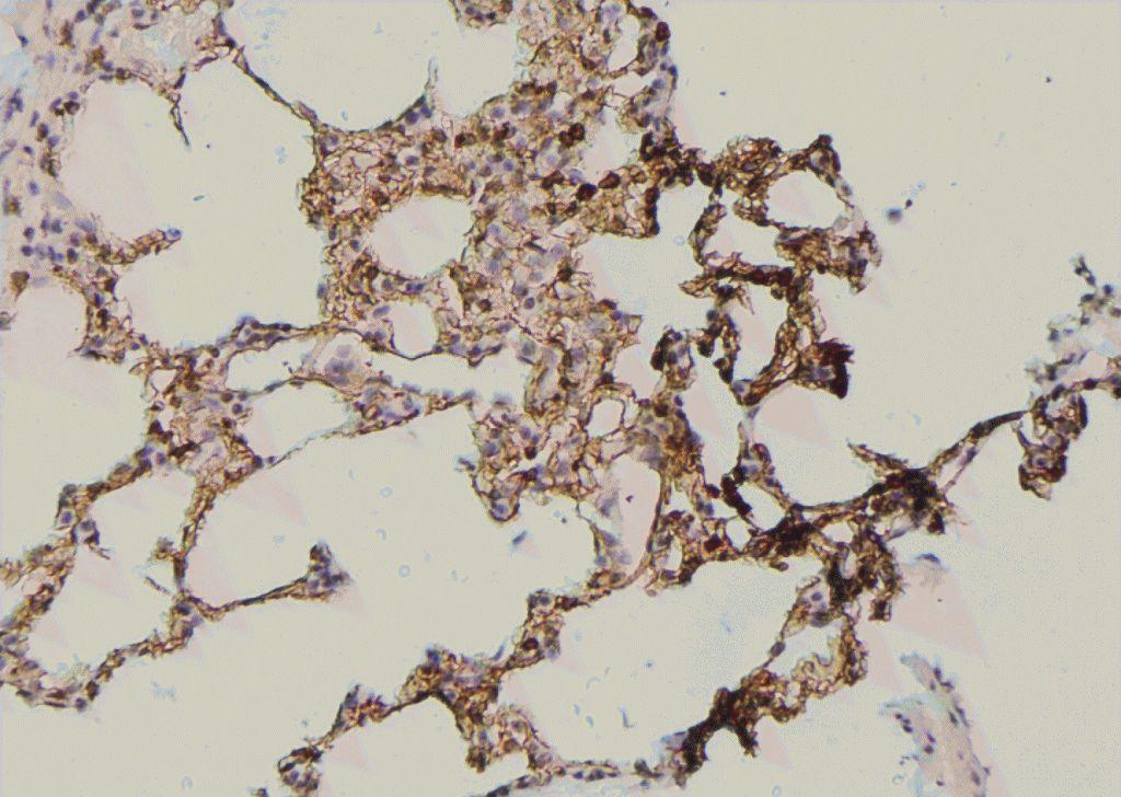 Phospho-Occludin (Tyr287) Antibody in Immunohistochemistry (Paraffin) (IHC (P))