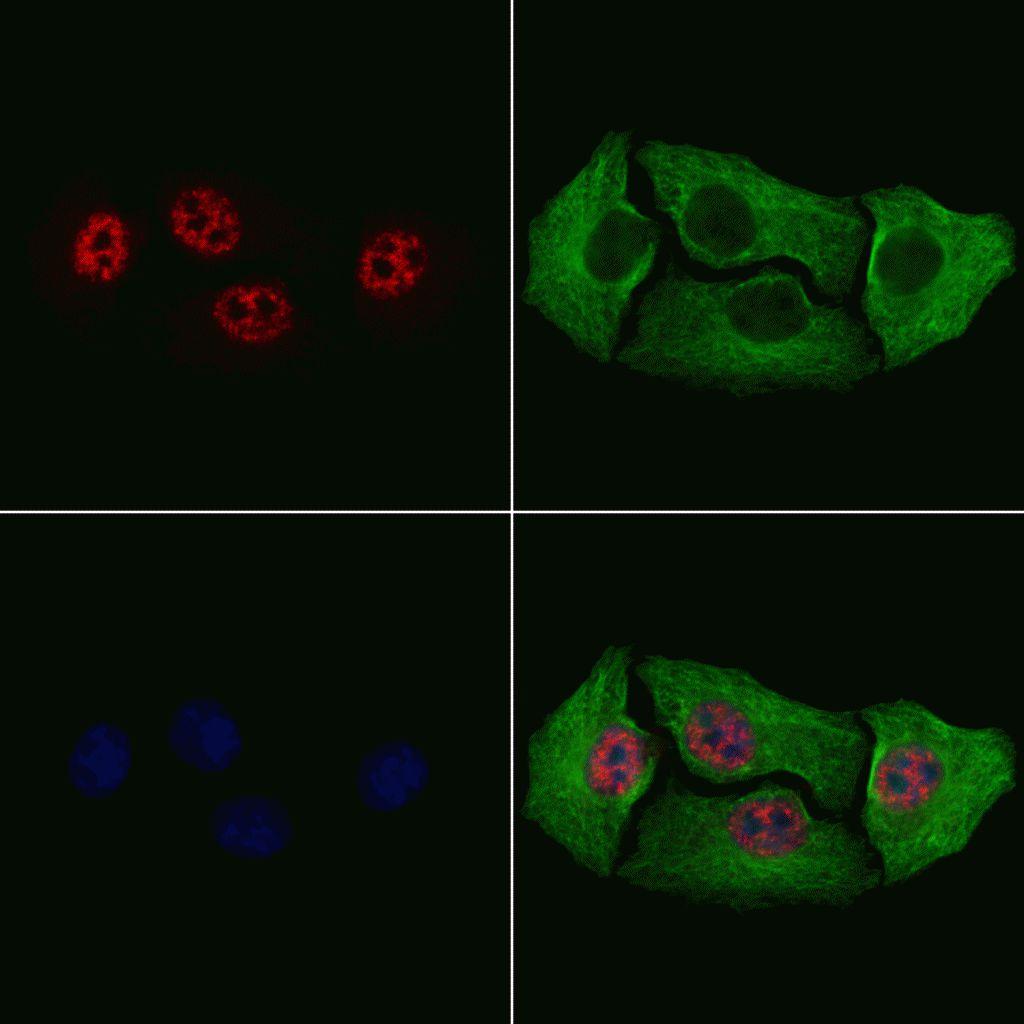 Phospho-HES1 (Ser37) Antibody in Immunofluorescence (IF)