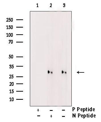 Phospho-HES1 (Ser37) Antibody in Western Blot (WB)