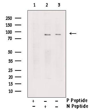 Phospho-TrkA (Tyr791) Antibody in Western Blot (WB)