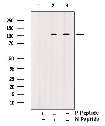 Phospho-ATP1A1 (Tyr542) Antibody in Western Blot (WB)
