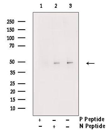 Phospho-GATA2 (Ser192) Antibody in Western Blot (WB)