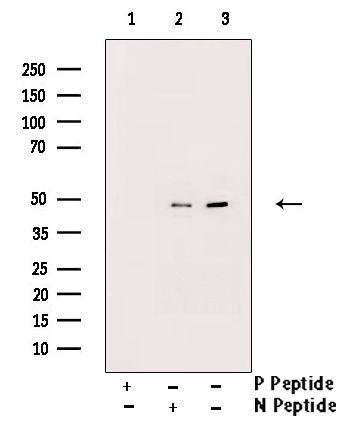 Phospho-GATA2 (Ser401) Antibody in Western Blot (WB)