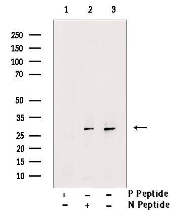 Phospho-Cdc42 (Tyr64) Antibody in Western Blot (WB)