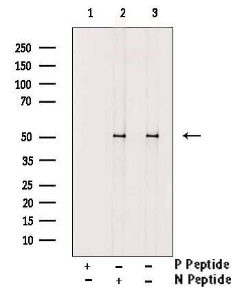 Phospho-RUNX1 (Ser397) Antibody in Western Blot (WB)