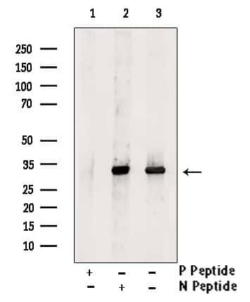 Phospho-SOX2 (Ser249, Ser250) Antibody in Western Blot (WB)