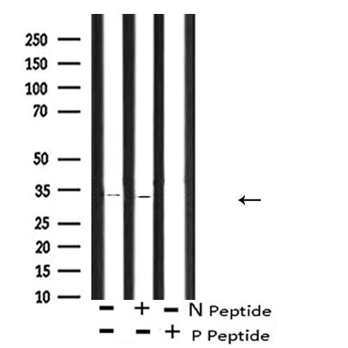 Phospho-CDK1 (Thr161) Antibody in Western Blot (WB)