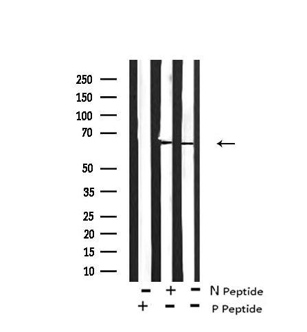 Phospho-LKB1 (Ser334) Antibody in Western Blot (WB)