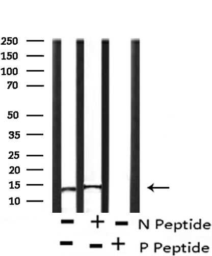 Phospho-Histone H2A (Ser2) Antibody in Western Blot (WB)