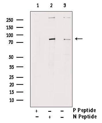 Phospho-MAP2 (Ser136) Antibody in Western Blot (WB)