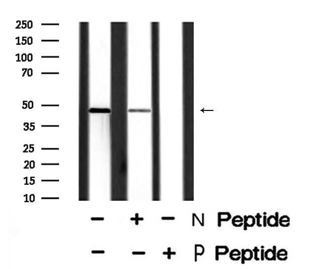 Phospho-Bcl-3 (Ser402) Antibody in Western Blot (WB)