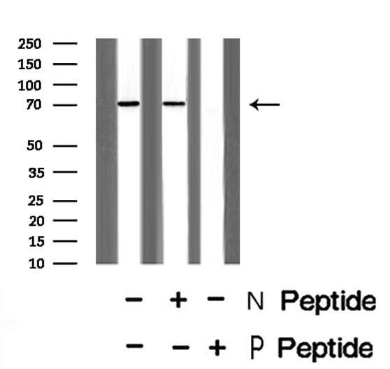 Phospho-CD150 (Tyr281) Antibody in Western Blot (WB)