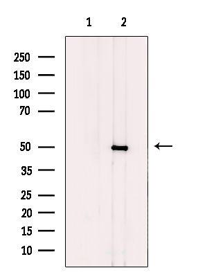 CtBP1/CtBP2 Antibody in Western Blot (WB)