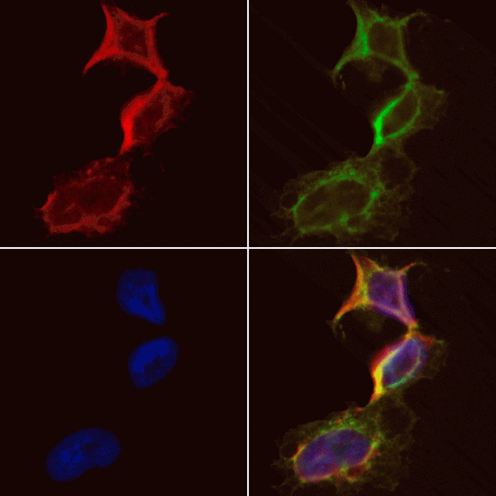 Creatine Kinase MT Antibody in Immunofluorescence (IF)