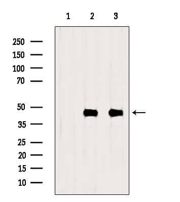 Creatine Kinase MT Antibody in Western Blot (WB)