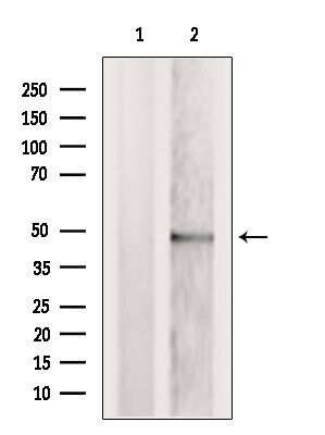 TRBP Antibody in Western Blot (WB)