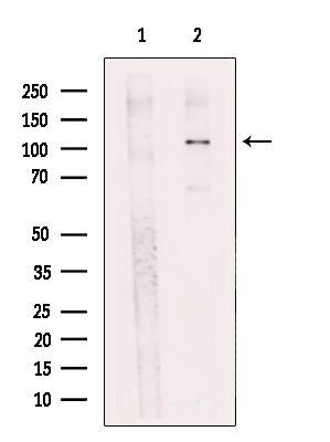 USP33 Antibody in Western Blot (WB)
