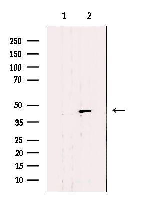 SLC22A18 Antibody in Western Blot (WB)