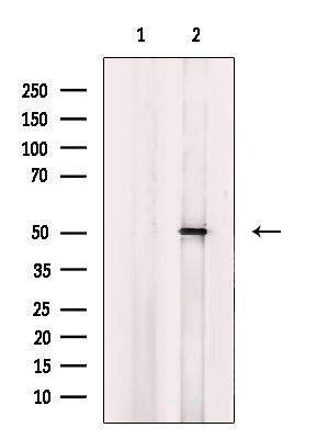 CYP4B1 Antibody in Western Blot (WB)