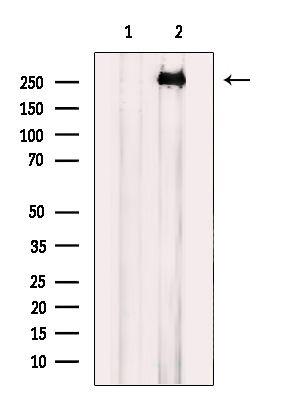 EGFL4 Antibody in Western Blot (WB)