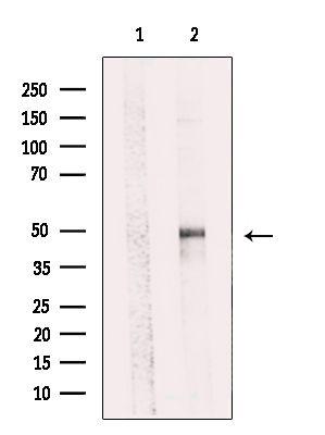 SYT11 Antibody in Western Blot (WB)