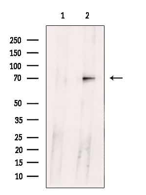 Ubiquilin 3 Antibody in Western Blot (WB)