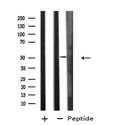 DUSP10 Antibody in Western Blot (WB)