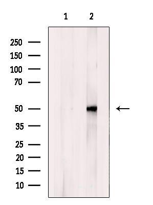 NPY1R Antibody in Western Blot (WB)