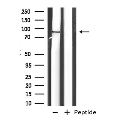 EXT1 Antibody in Western Blot (WB)