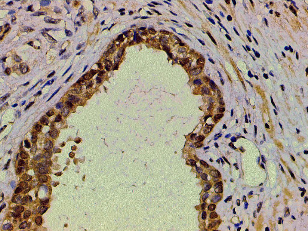 Ephrin B2 Antibody in Immunohistochemistry (Paraffin) (IHC (P))