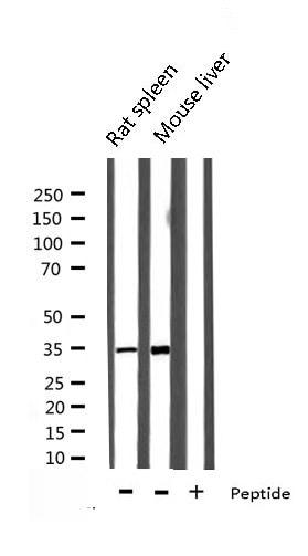 Ephrin B2 Antibody in Western Blot (WB)