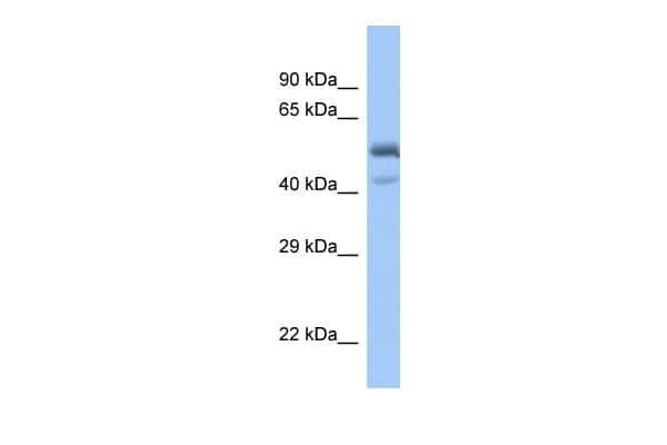 PDEF Antibody in Western Blot (WB)