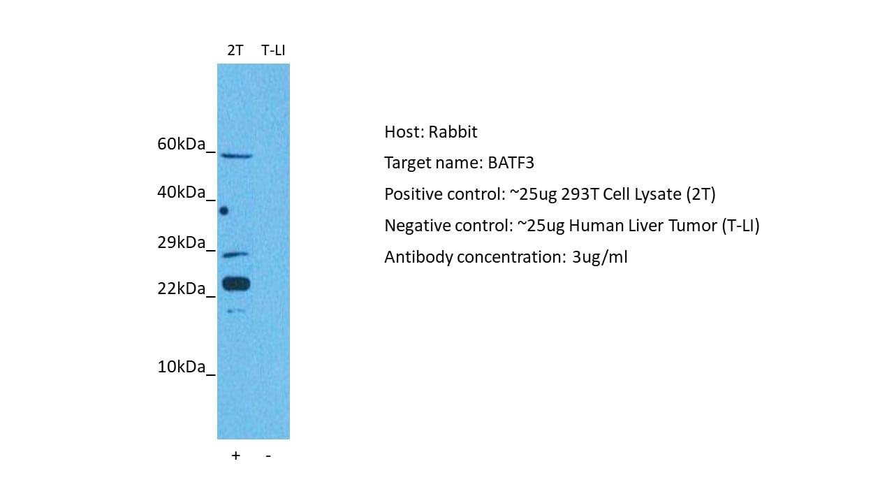 BATF3 Antibody in Western Blot (WB)