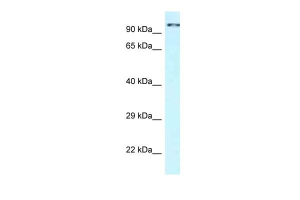 CDK11A Antibody in Western Blot (WB)