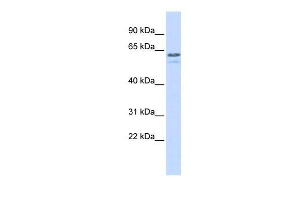 TRIM6 Antibody in Western Blot (WB)