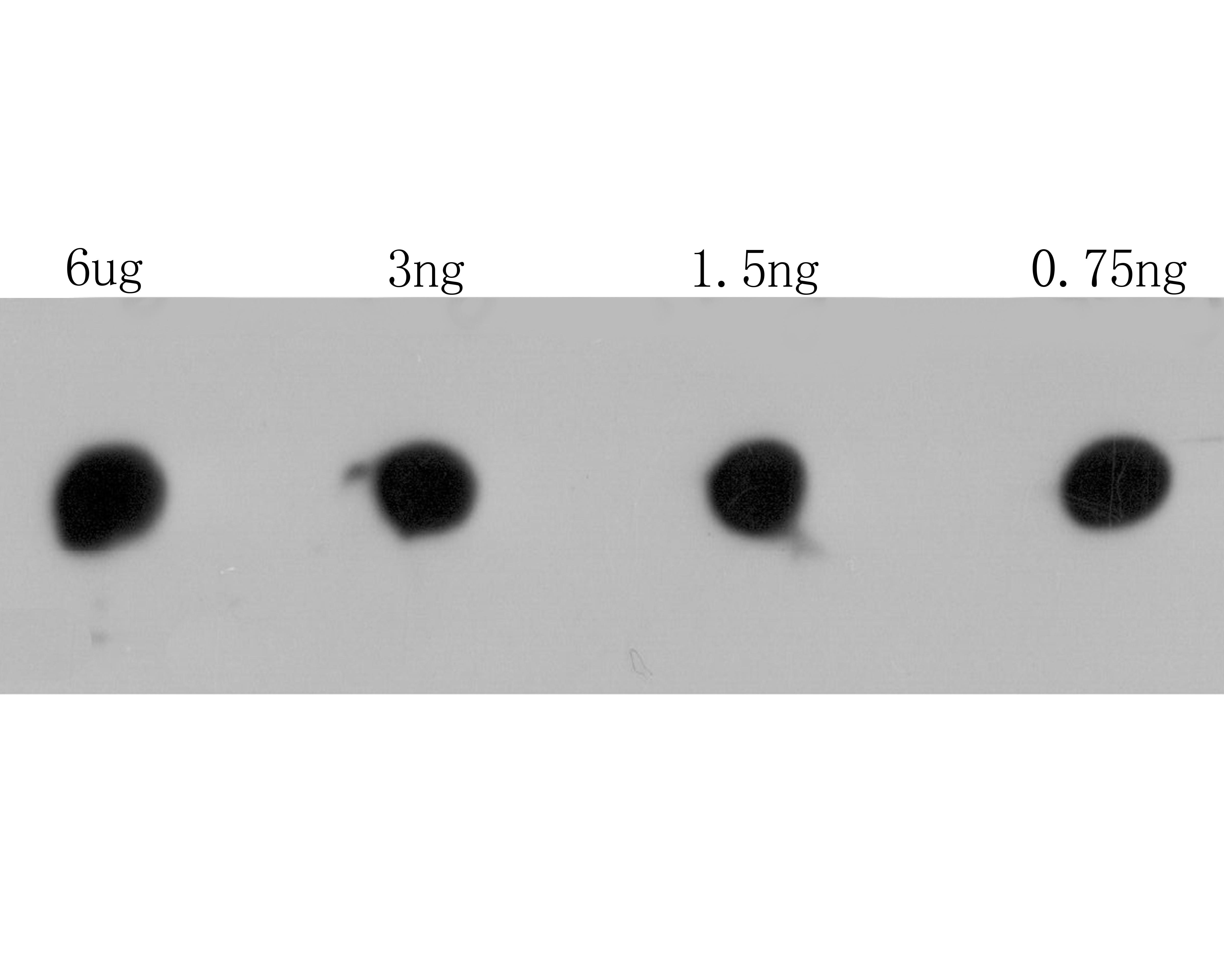 RyR3 Antibody in Dot blot (DB)