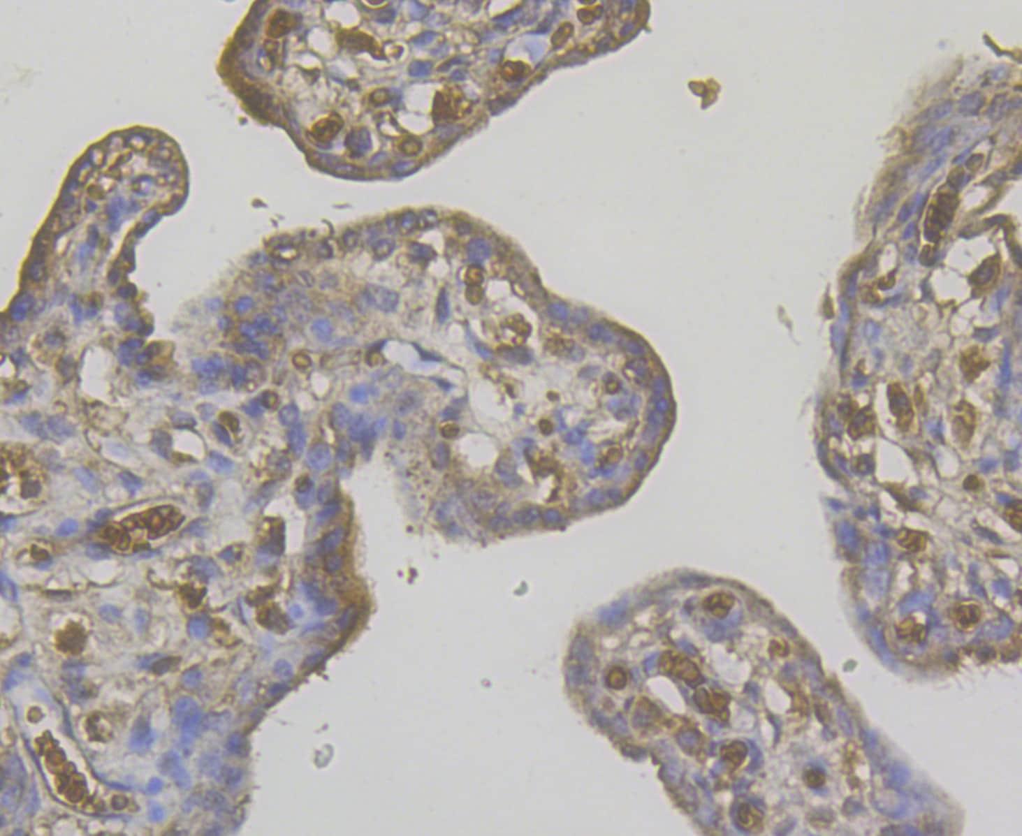 STIM2 Antibody in Immunohistochemistry (Paraffin) (IHC (P))