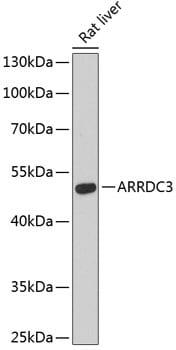 ARRDC3 Antibody in Western Blot (WB)