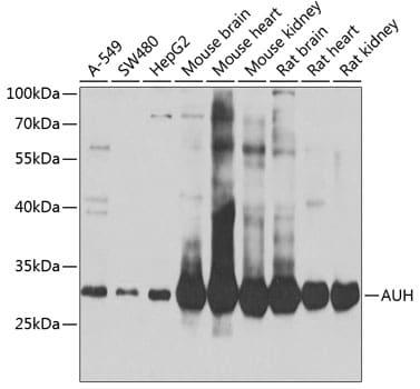 AUH Antibody in Western Blot (WB)