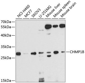 CHMP1B Antibody in Western Blot (WB)