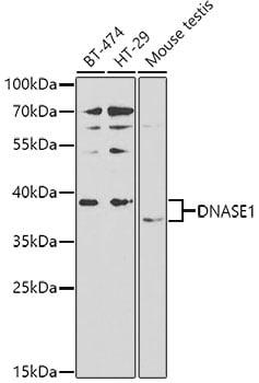 DNase I Antibody in Western Blot (WB)