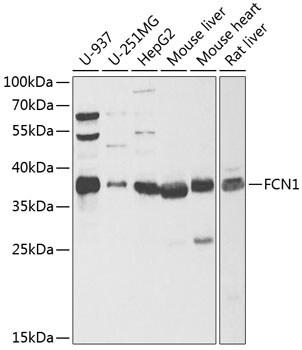 FCN1 Antibody in Western Blot (WB)