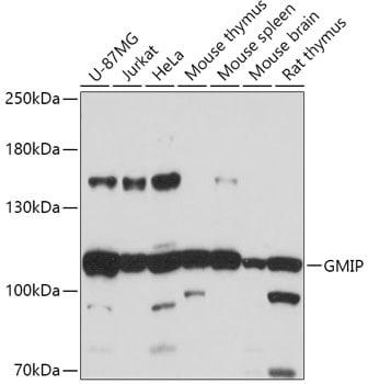 GMIP Antibody in Western Blot (WB)