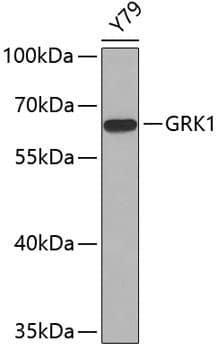 GRK1 Antibody in Western Blot (WB)