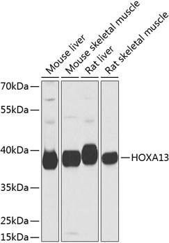 HOXA13 Antibody in Western Blot (WB)