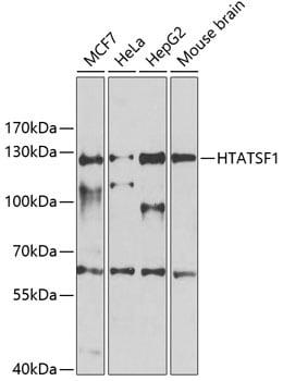 HTATSF1 Antibody in Western Blot (WB)