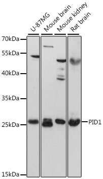 PID1 Antibody in Western Blot (WB)