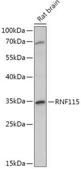 RNF115 Antibody in Western Blot (WB)